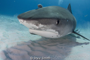 Smiley in stealth mode at Tiger Beach by Stew Smith 